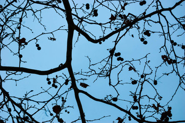 Plane tree twigs. Abstract horror background. Dusk.