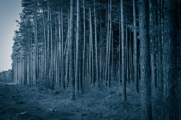 Pine forest in Europe