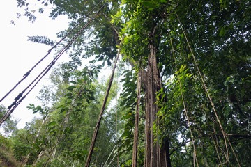 Lianas in the Tropics of Thailand