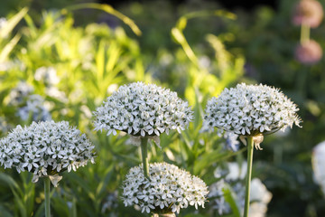 flowers white baby's Breath