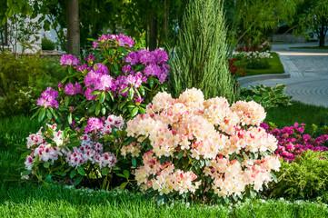 Bloeiende rododendron of azalea in het park