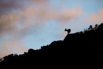 Spanish Ibex (Capra pyrenaica victoriae)