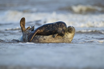 Grey Seal mate in the shore break (Halichoerus grypus) at Donna Nook UK