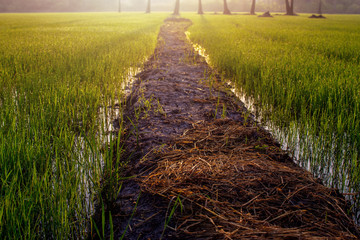 Soft Focus Rice Field in Morning with Natural Golden Sunbeam, Cracked Walkway into the Farm