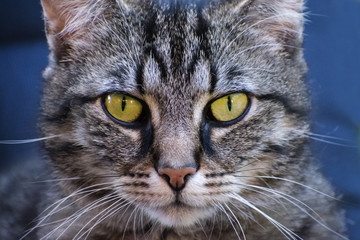 tabby cat frontal portrait, close up against a blue background