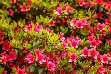 Floral background of azalea (rhododendron)