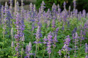 Beautiful flowering purple meadow with  Blue Salvia in garden