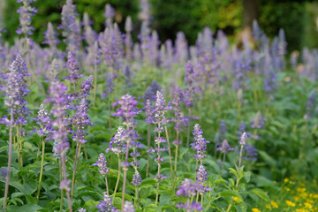soft focus beautiful flowering purple meadow with  Blue Salvia in garden