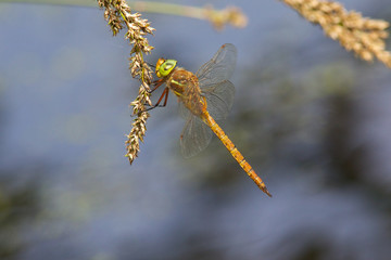 A Norfolk Hawker also known as a Green-eyed Hawker, Aeshna isosceles, resting in the sun on a seed head.