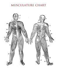 Human body: muscle chart, vintage illustration