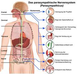 Das parasympathische Nervensystem, Parasympathicus