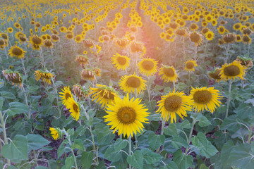 Sunflower in field close up, natural landscape background