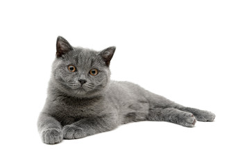 gray kitten isolated on white background