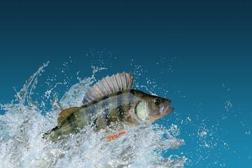 Perch fish jumping with splashing