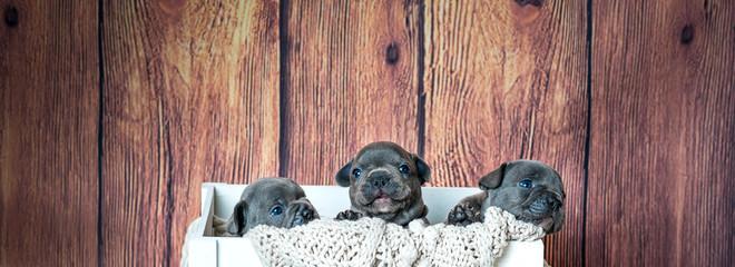 Hundewelpen - Französische Bulldogge