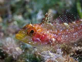Yellow triplefin, Gelber Dreiflossen-Schleimfisch (Tripterygion delaisi)