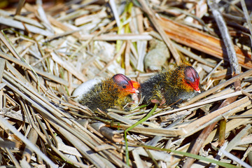 The beginning of a new life of birds in the nest on the water.