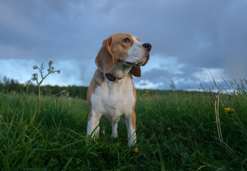 the Beagle for a walk on a summer evening