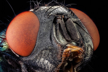 Portrait of a common green bottle fly magnified through a microscope objective
