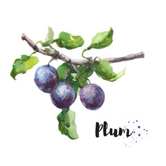 Watercolor hand drawn illustration of plum. Raster design element