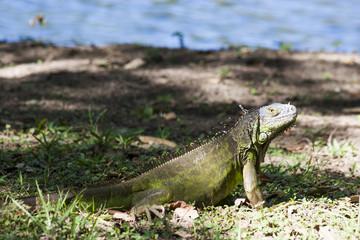Iguana,reptile,Villahermosa,Tabasco,Mexico