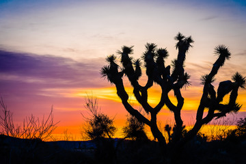 Joshua Tree back lit by colorful desert sunrise at Joshua Tree National Park in southern California.