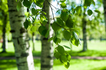 Young birch branches in the sunlight . Spring green background. Juicy greens  Wall mural