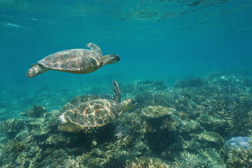 Two green sea turtles Chelonia mydas under the water swims over a coral reef, south Pacific ocean, New Caledonia, Oceania