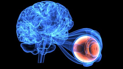3d illustration of human body brain and eye anatomy