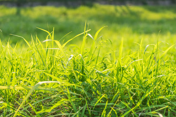 abstract green grass field on sun light - can use to display or montage on product