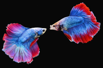 Two Halfmoon Siamese Fighting Fishes isolated on black background