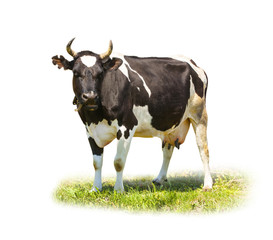 Spotted black and white cow full length isolated on white