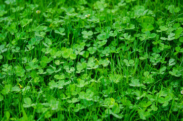 Background of green clover meadow, symbol of luck and Ireland
