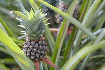 pineapple growing in a field. a favorite fruit for healthy and diet.