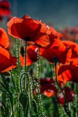 poppy flowers close up in the field