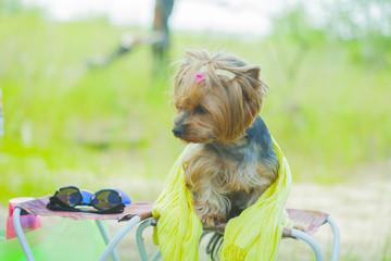 summer Yorkshire terrier