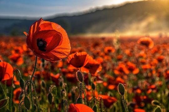 poppy flowers field in foggy mountains