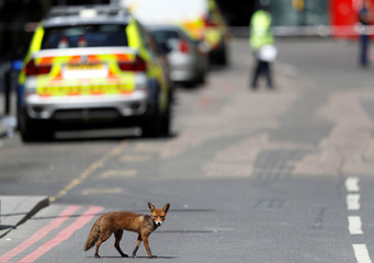 An urban fox crosses the road near Borough Market after an attack left 7 people dead and dozens injured in London