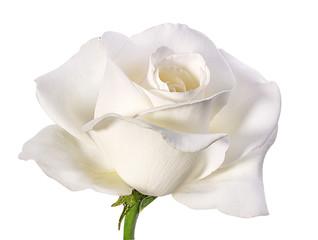 witte roos geïsoleerd op wit