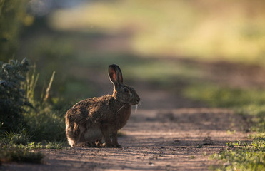 Hare sits on the road in a forest near the village of Krutilavichy