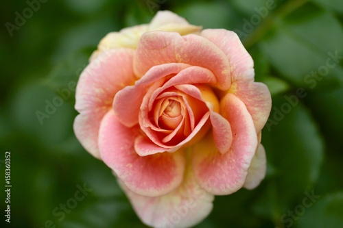 Rose Macro Belle Fleur Stock Photo And Royalty Free Images On