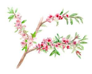 illustration of almond blossom flowering twig. watercolor painting