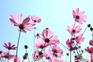 Beautiful Cosmos flowers blooming in sky Wall mural