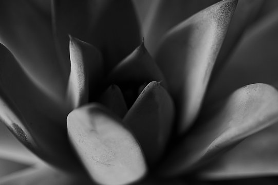 Texture or background, very colorful succulents in macro photography ,black and white image