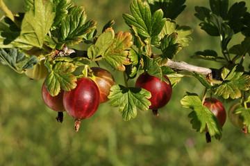 Gooseberry (Ribes uva-crispa L.), European gooseberry, fruit on the bush