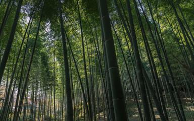古都京都 嵯峨野の竹林風景