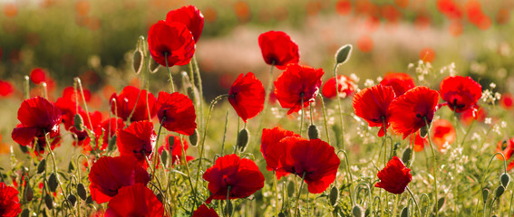 Panorama with red poppies