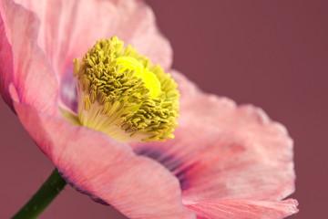 Schlafmohn, Blüte