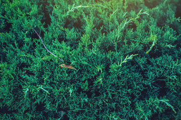 Interesting background of bright green leaves of the plant thuja in the spring with beautiful...