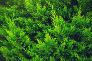 Interesting background of bright green leaves of the plant thuja in the spring with beautiful light. Concept of ecology